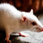 MICE VACCINE: NEW HOPE FOR SECONDARY STROKE VICTIMS
