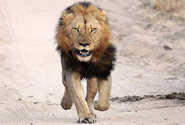 PANIC GRIPS RESIDENTS AS LION ESCAPES FROM KANO ZOO