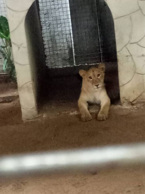 INDIAN REARS LION IN VICTORIA ISLAND LAGOS